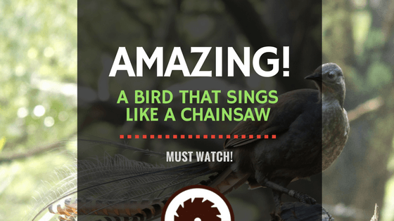 Bird That Sings Like a Chainsaw