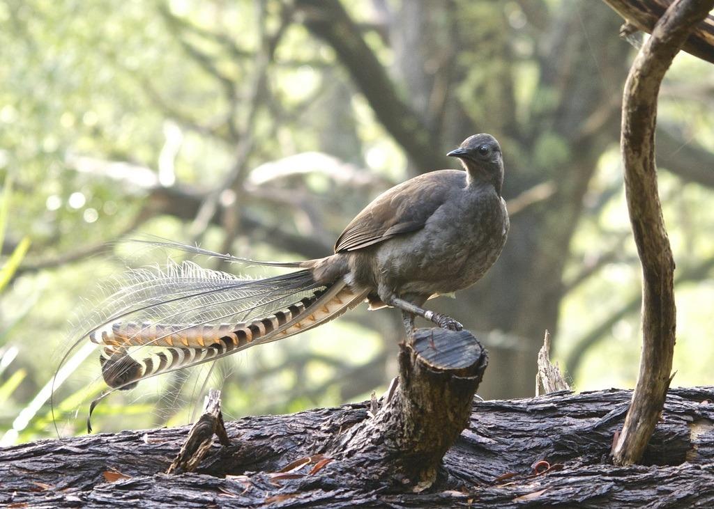 Amazing Lyre Bird sings like a chainsaw