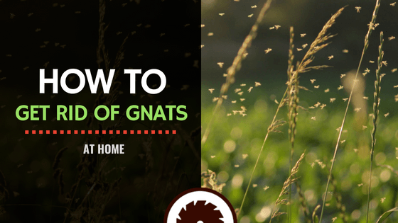 How to Get Rid of Gnats at Home