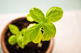 How to Grow Basil - Small Basil Plant in a Pot indoors during the day