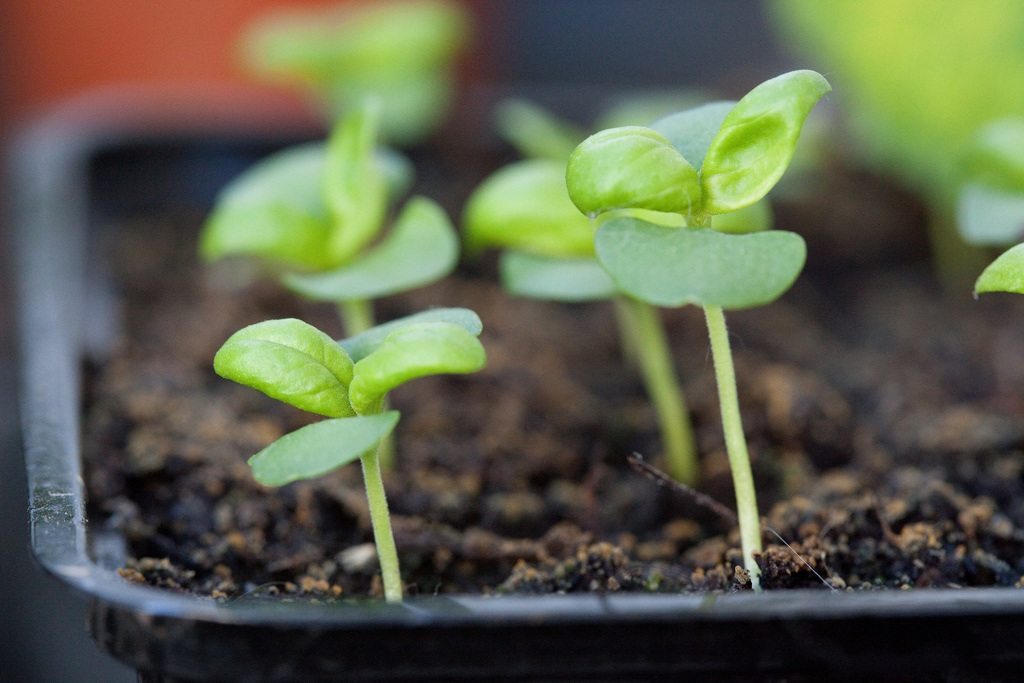 How to Grow Basil - Basil seedlings in seeding pot